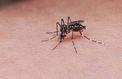Wolbachia, une superbactérie à l'assaut du virus Zika