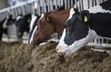 Le bétail responsable de la résistance à certains antibiotiques