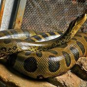 Un python royal en liberté effraie une université canadienne