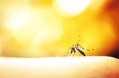 Virus et moustique, une histoire de couple
