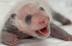 Le bébé panda du zoo de Beauval sur TMC