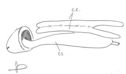 Les corps caverneux (cc) donnent sa rigidité au pénis. Le corps spongieux (cs), prolongé par le gland, apporte les sensations orgasmiques.