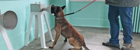 Des chiens capables de renifler des cancers