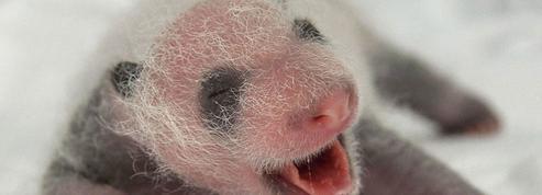 Le bébé panda du zoo de Beauval joue les stars