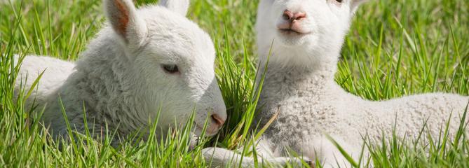 Testé sur des agneaux, l'utérus artificiel est peut-être né