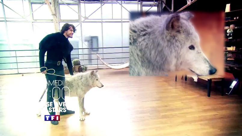 Un loup dans Danse avec les stars ? L'association PETA s'y oppose fermement