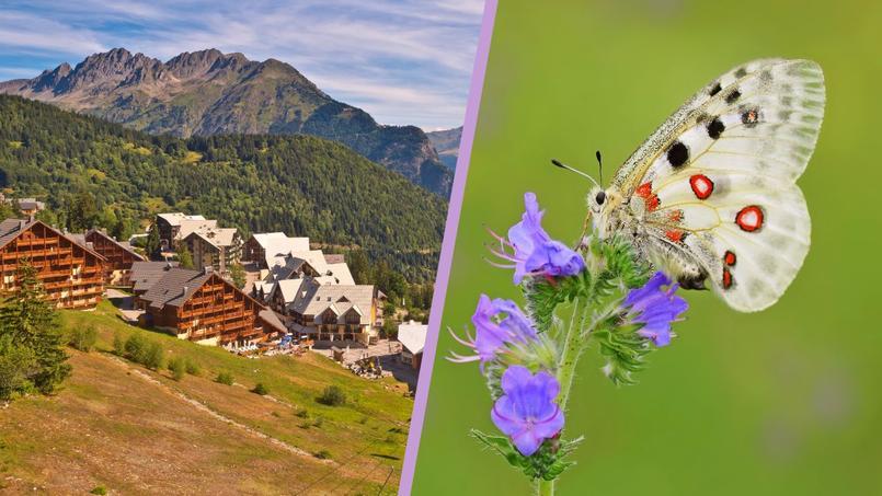 Sur 33.000 lits recensés à l'Alpe d'Huez, 23.000 appartiennent à des propriétaires privés et sont très peu loués. À droite, un papillon Apollon.