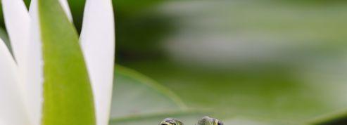 Quand des grenouilles bruyantes font condamner des propriétaires