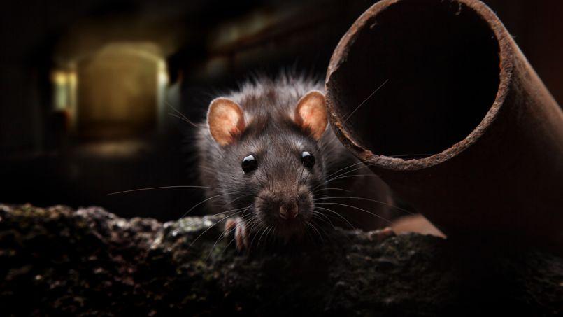 conseils de spécialiste pour se débarrasser des rats chez soi
