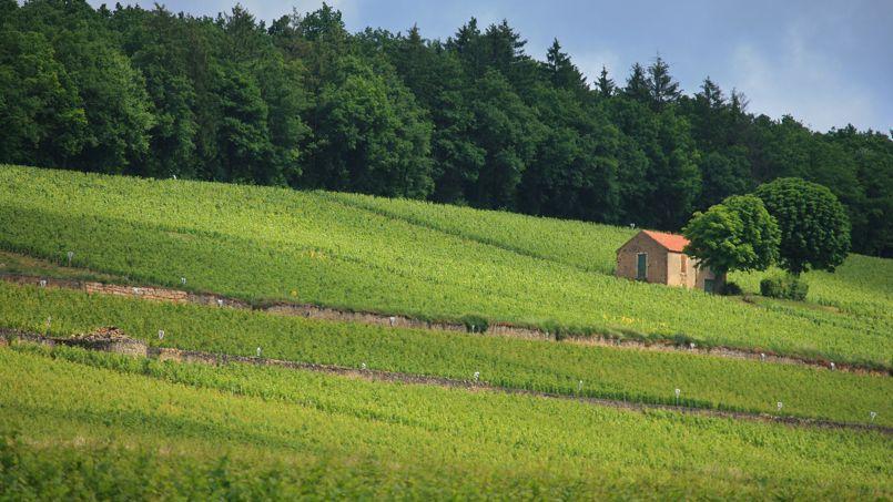 Les vignes de Corton, près de Beaune. La transaction se serait approchée des 10 millions d'euros à l'hectare.