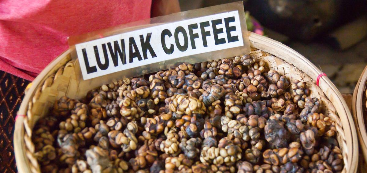 quel est le secret du kopi luwak caf le plus cher au monde. Black Bedroom Furniture Sets. Home Design Ideas