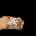 Un tigre accepte de prendre la pose... mais en Prada !