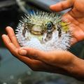 Le fugu, un poisson délicieusement toxique