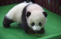 Malaisie : un deuxième bébé panda né au zoo