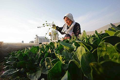 Une agricultrice octogénaire japonaise entretient son champ d'épinards, le 20 mars 2011. Ces légumes sont les premiers à avoir montré des signes de contamination radioactive, dans la région de la centrale sinistrée de Fukushima. Crédits photo: AP/Eugene Hoshiko.