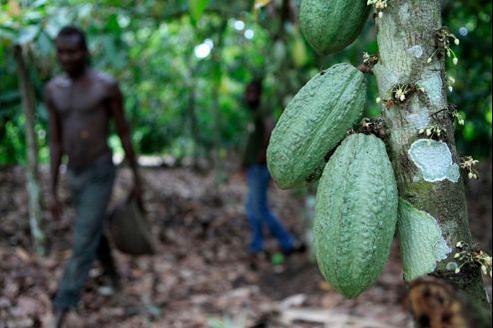 Une plantation de cacao près de Duékoué en Côte d'Ivoire.