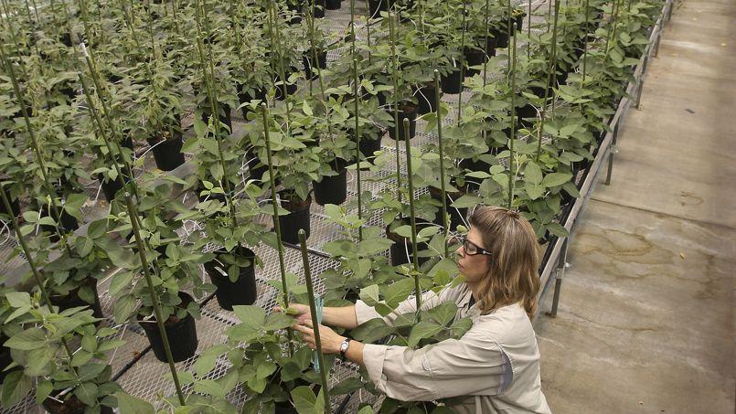 Une employée de Monsanto danslaserre consacrée aux plants de soja transgéniques sur le site deChesterfield, dans le Missouri. Aujourd'hui, en Amérique, 90% descultures de soja sont devenues transgéniques.