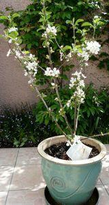 Pho065d076e 9aed 11e3 95fd for Cerisier nain garden bing