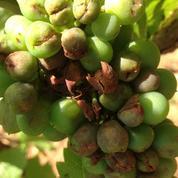 Cognac: 500 hectares du vignoble quasiment détruits par un orage de grêle