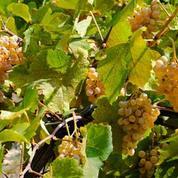 Les viticulteurs alarmés se mobilisent pour endiguer le dépérissement du vignoble