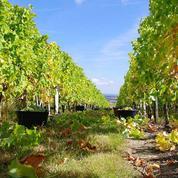 Hérault : 200.000 litres de vin déversés chez un négociant, tags du CAV