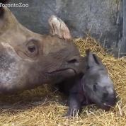 Après 16 ans, naissance du premier bébé rhinocéros en captivité
