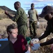 Kenya: une girafe opérée et sauvée en pleine brousse