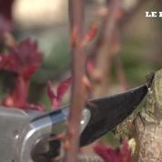 Conseil jardin : pas de belles roses sans rosiers bien taillés