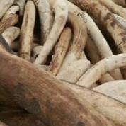 Le Kenya va brûler la plus grande quantité d'ivoire jamais réunie