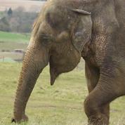 Un éléphant se fait retirer une dent