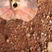 Australie: il se fait attaquer par un lézard à collerette