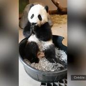 Ce panda découvre la glace, et il aime ça