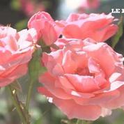 Votre voisin a de belles roses ? Bouturez-les !