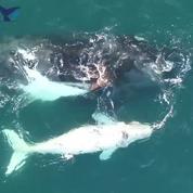 Des baleineaux filmés par un drone en Australie