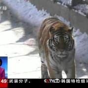 Un zoo chinois abrite des tigres en surpoids