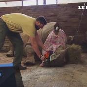 Un zoo tchèque décorne ses rhinocéros par peur du braconnage