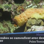 Ces crabes se camouflent avec des éponges de mer