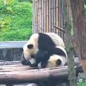 Des bébés pandas se bagarrent, et c'est vraiment mignon