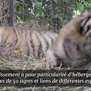 Ces trois adorables bébés tigres sont nés en Crimée