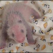 Le bébé panda du zoo de Tokyo est une femelle