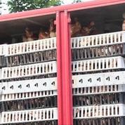 Des milliers de poules bloquent une autoroute en Autriche