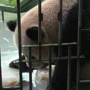 Au zoo de Shanghai, fruits glacés et baignades pour lutter contre la canicule