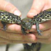 Naissance de crocodiles nains au zoo de San Diego
