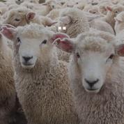 Un mouton arrive à reconnaître Barack Obama et Emma Watson
