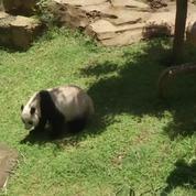 Un couple de pandas géants fait son arrivée dans un zoo indonésien