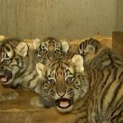 Des tigres quintuplés vont rencontrer les visiteurs d'un zoo chinois pour la première fois