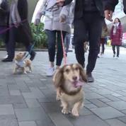 Honk-Kong accueille son premier défilé de chiens «saucisses»
