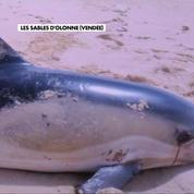 Échouages massifs de dauphins en Vendée