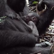 Les images rares d'un gorille et de son nouveau-né dans leur habitat naturel