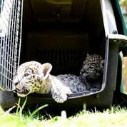 Deux bébés jaguars nés au Mexique